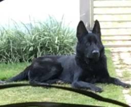 Venda de cães adestrados para Guarda Belo Horizonte