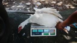 Vendo casal de pato 100 reais
