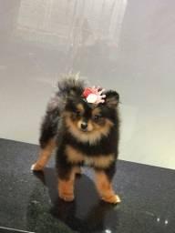 Fêmea de spitz Lulu com 6 meses