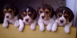 Filhote de beagle fêmea disponível