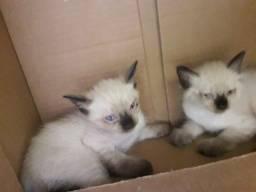 gatinhos siameses