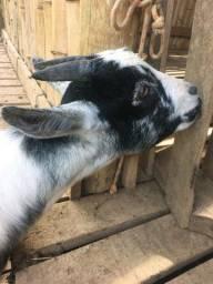 Cabra e bode  caprinos