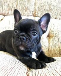 Bulldog francês disponível fêmea e macho