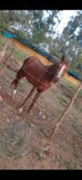 Égua mangalarga marchador vendo ou troco