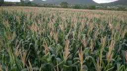 Silagem milho a ser feita nos próximos dias