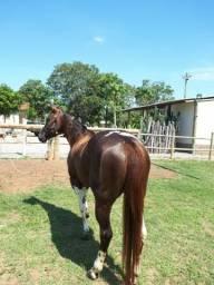 Égua paint horse PO registrada