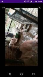 Venda de Porcos