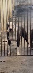 American Staffordshire terrier para cobertura