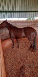 Égua QM à venda