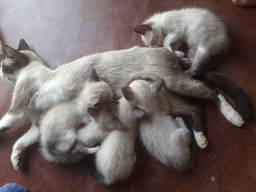 Adoção de gatinhos
