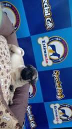 Lindo filhote de Pug macho disponível