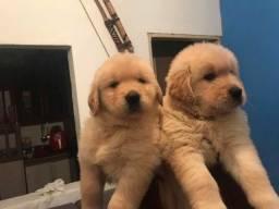 Golden FÊMEA  Cachorrinhos com pedigree