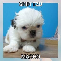 Shih Tzu filhotes encantadores