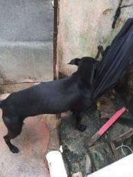 Cão para doação responsavel