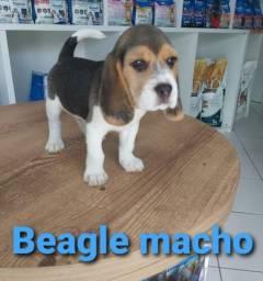 Amável Filhote de Beagle macho
