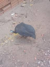 Angola macho