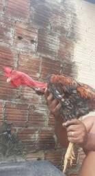 Frangos de raça indiano pescoço de sola. R$ 40,00
