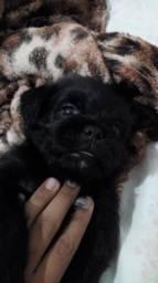 Vendo filhote de pug com poodle toy