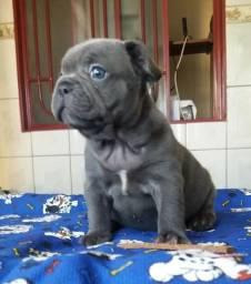 Bulldog Frances Exotico Blue