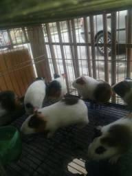 Porquinhos da Índia Mini