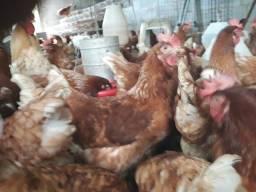 Chance de Ganhar DINHEIRO todo dia. galinhas HISSEX BRAWN início de postura
