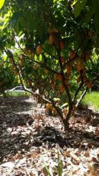 Fazenda Ilhéus Bahia/ Sul da Bahia