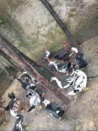 Troco patas pondo por galinhas