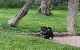Yorkshire Terrier alto padrão da raça. Em até 12x sem juros!!