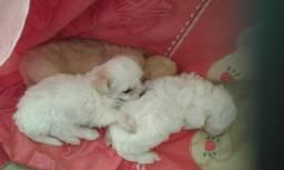 Venda de filhotes poodle