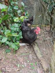 Vendo 2 galinhas gigante negro de jersey puras