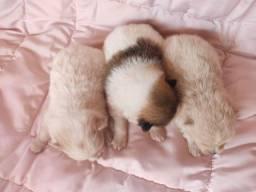 Lulu da Pomerânia belíssimos filhotes