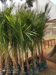 Mudas de coco anão grande