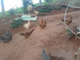 Vendo 7 galinhas rhodia