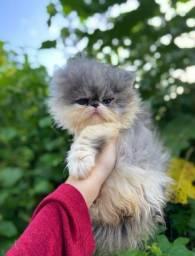 Gatos persas show disponíveis!
