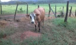 Vaca gersey 2016 dando leite