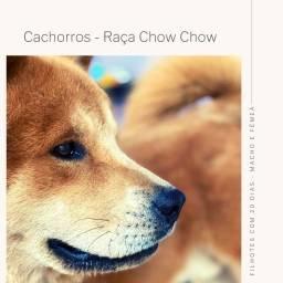 Vendo Lindos Filhotes Chow Chow