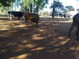 Vendo 09 vacas paridas e 04 novilhas