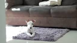 Bull Terrier - nascidos 15/08