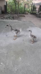 Filhotes de gansos