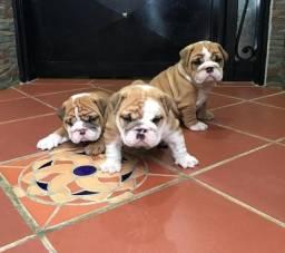 Bulldog Inglês lindos filhotes raça pura bem fortes e parrudos