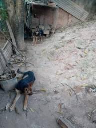 Cachorro pastor alemao