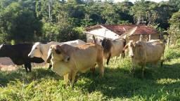 Vacas de leite.