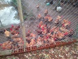 Vendo galinha pescoço pelado