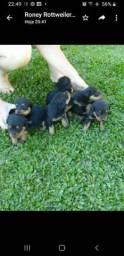 Vendo filhotes de Rottweiler cabeça de touro