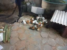 Porquinhos da Índia.