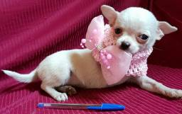 Chihuahua pelo curto fêmeas disponível branca Neves