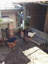 Vendo galinha caipira .TD nova e botando