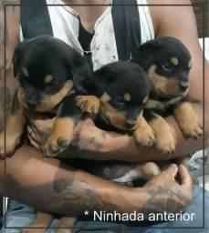 Filhotes Rottweiler