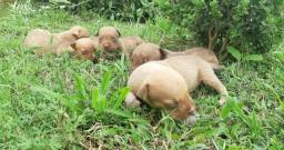 Vendo filhotes de Pit Bull Puro