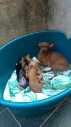 Tres filhotes de cachorro Pinsher num.1.Leia Descricao